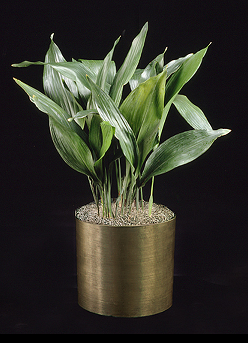 small office plant. Aspidistra Small Office Plant N